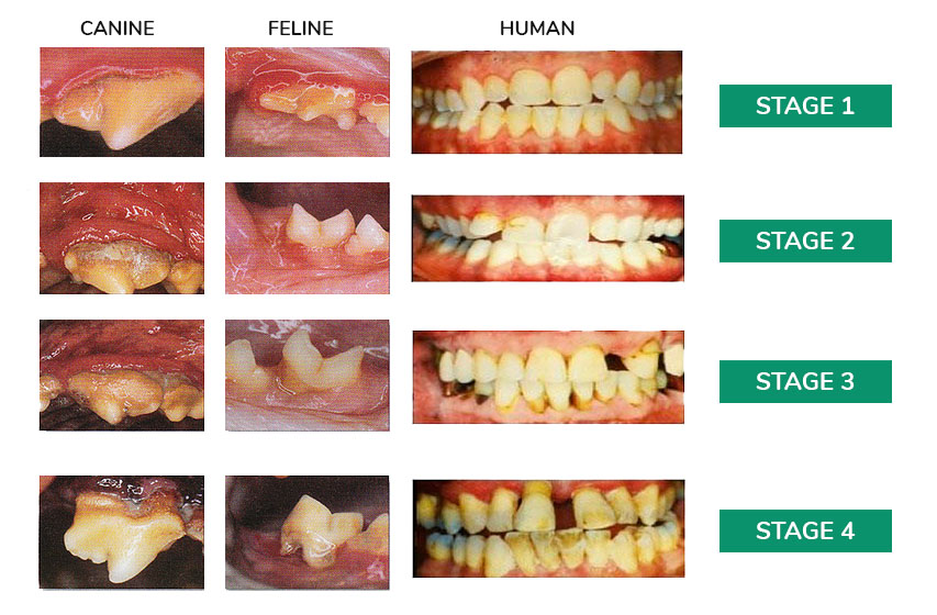 Canine Feline Human teeth decline stages