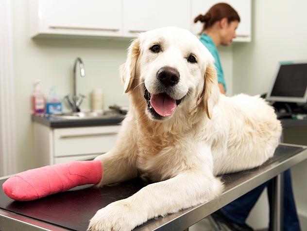 bandaged golden retriever